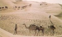 Several members of a caravan hiking with camels in tow.