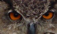 Owls at Campfire