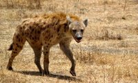 http://www.ambient-mixer.comTribal Hyena