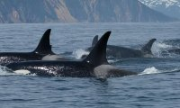 Orca callings and vocalizations