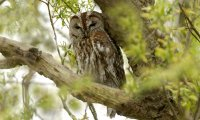 Tawny Owl Ambience