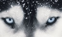 Wolf calling to the Thunder